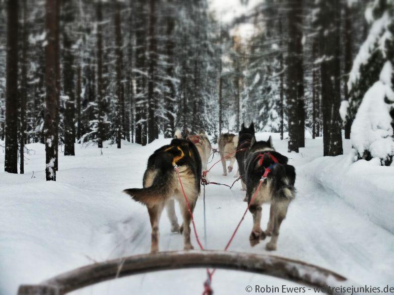 Hundeschlitten Huskies 003