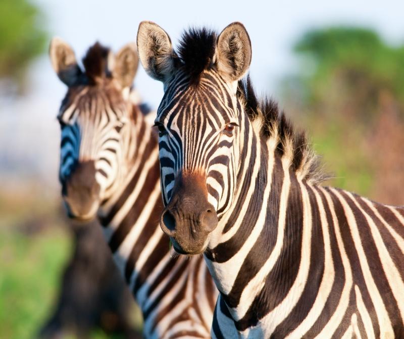 Zebras im Krüger NAtionalpark ©nomisg - Fotolia.com
